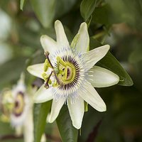 Passiflora 'Constance Eliott' (White) Climber in a 3L Pot 1.4m Tall
