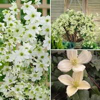 Evergreen Clematis set of 6 plug plants