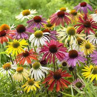 Echinacea Lucky Dip Mixed 9cm potted
