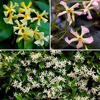 Trachelospermum Collection 3 x 9cm