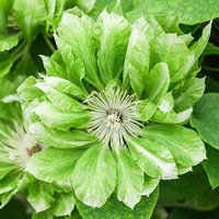 Clematis Green Passion 7cm