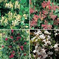Scented Climbing Plants - DM  x10 plug plants