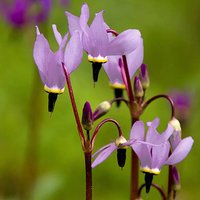 Perennial Dodecatheon meadia (Shooting Stars) 9cm - pack x3