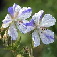 "Perennial Hardy Geranium ""Splish Splash"" plants - pack of 3 in 9cm pots"