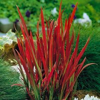 "Perennial Imperata ""Red Baron"" (Blood Grass) plants - pack of 3 in 9cm pots"