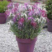 Dianthus chinensis 'Geisha Girl' Plants in 7cm pots x 6