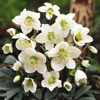 Christmas Rose plants (Helleborus niger Christmas Carol) - set of 3 in 1L pots