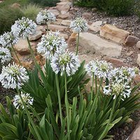 Agapanthus 'Queen Mum' plants - Pair on 9cm pots
