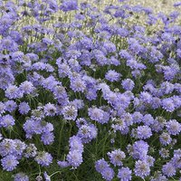 Scabious Butterfly Blue 9cm