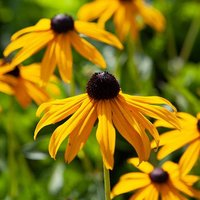 Hardy Rudbeckia 'Goldsturm' perennial plants - pack of 3 in 9cm pots