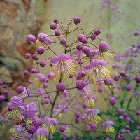 Thalictrum rochebruneanum 9cm