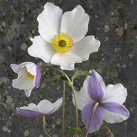 Rare Hardy Japanese Anemone