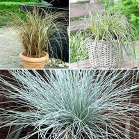 Colourful Ornamental Grasses Collection x 6 plants in 9cm pots