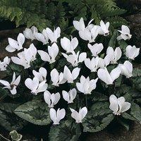 Cyclamen hederifolium White- pack of 3 x 9cm