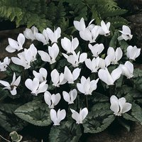 Cyclamen hederifolium White- pack of 3 x 9cm