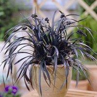 Ophiopogon Black Dragon Grass x  3 plants