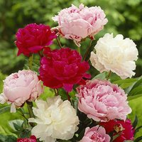Hardy Herbaceous Peony Plant Collection - 3 x 11cm pots