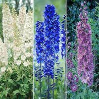 Pack of 3 Blue, Pink & White Perennial Delphiniums in 9cm Pots