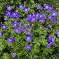 2L Potted Geranium Rozanne RHS Plant of the Centenary
