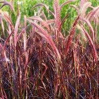 Variegated Purple Fountain Grass Pennisetum 'Fireworks' in a 2L Pot
