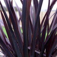 Phormium 'Black Adder' 5L plant 80-100cm tall