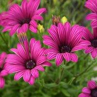 Osteospermum Tresco Purple 3L