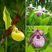 Garden Orchid Cypripedium Mix 12cm