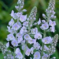 Veronica gentianoides 3 x 9cm