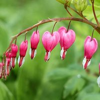 Bleeding Hearts (Dicentra spectabilis) - pack of 5 roots