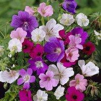 Colourful Hardy Geranium