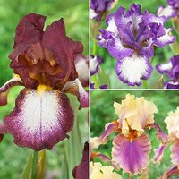 Pack of 6 Mixed Hardy Bearded Iris germanica Rhizomes