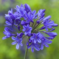 Agapanthus africanus Blue x 5 bare roots