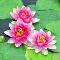 Water Lily Planting Kit - Pink