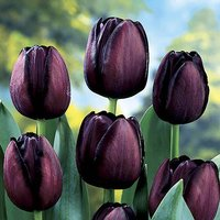 "Tulip bulbs ""Queen of the Night"" pack of 15"