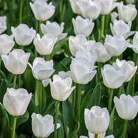 "Tulip bulbs ""Triumph White"" pack of 15"