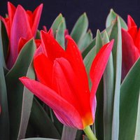 "Tulip bulbs""Scarlet Baby"" pack of 25"