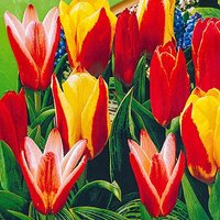 "Tulip bulbs ""Kaufmanniana Mixed"" (early) pack of 25"