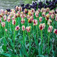 "Tulip bulbs ""Grand Perfection"" pack of 15"