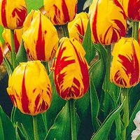 "Tulip bulbs ""Washington"" pack of 15"