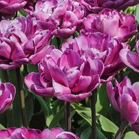 Tulip bulbs 'Blue Diamond' pack of 12