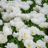 Tulip bulbs Mount Tacoma (Paeony flowered) pack of 15