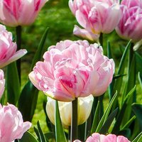 Tulip Double Pink Size:11/12 pack of 15 bulbs