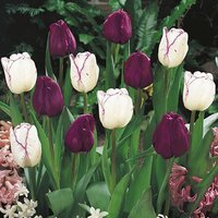 Tulip bulbs Purple and Shirley mixed pack of 20