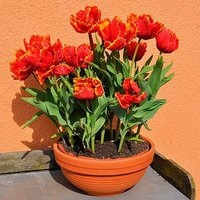 "Tulip bulbs ""Bright Parrot"" pack of 12"