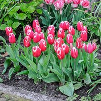"Tulip bulbs ""Canasta"" pack of 15"