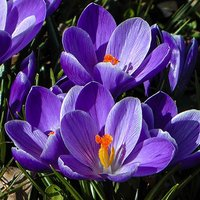 "Crocus bulbs ""Large flowered Blue"" pack of 30"