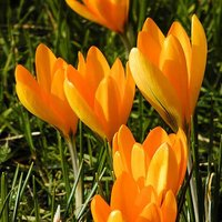"Crocus bulbs ""Large flowered Yellow"" pack of 30"