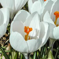 Crocus bulbs 'Large flowered White' pack of 20