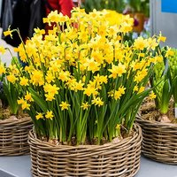 "Narccisus bulbs ""Tete a Tete"" pack of 30"