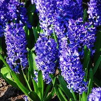 Hyacinth bulbs Blue pack of 8